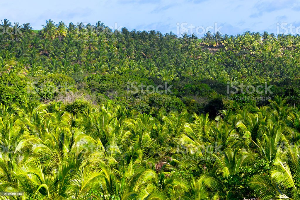 Palm Plantation stock photo