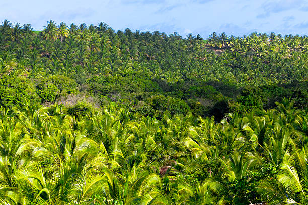 palm-plantage - baumgruppe stock-fotos und bilder
