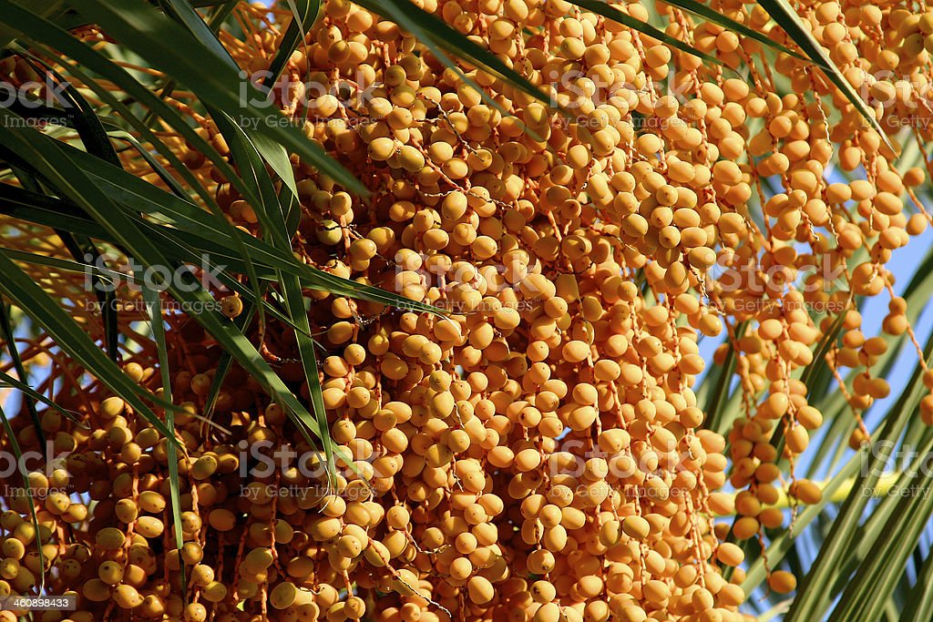 Palm Seeds stock photo