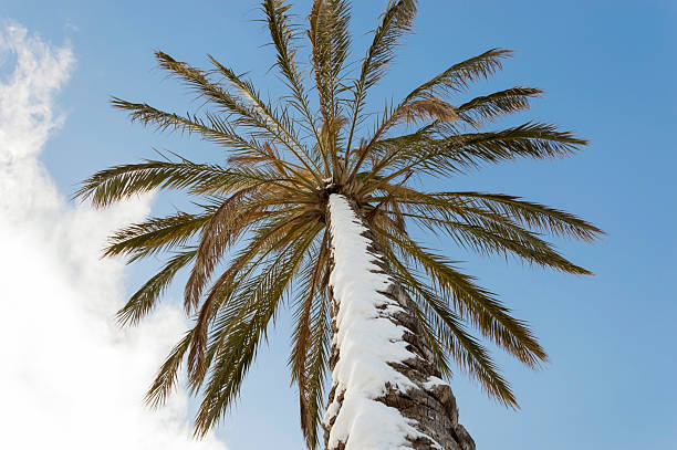 palm snowy stock photo