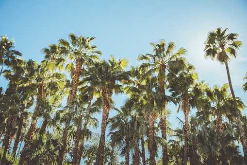 Palm Springs Movie Colony Palm Trees Stock Photo - Download Image Now