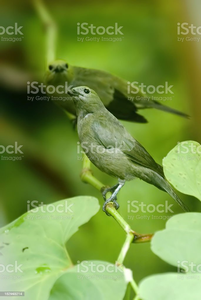 Palm Tanagers stock photo
