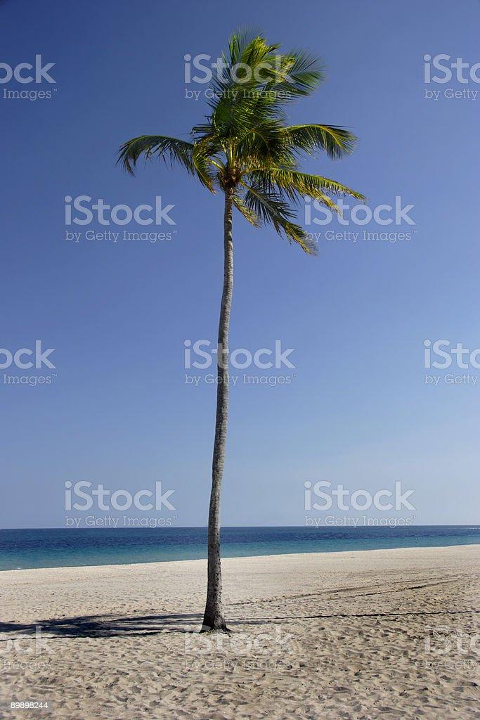 Palm Tree 3 royalty-free stock photo