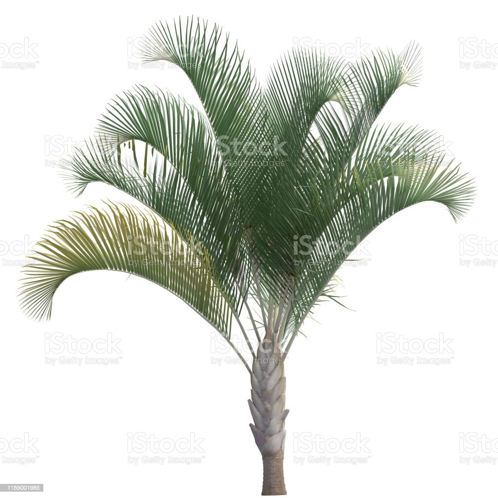 Palm Tree 3d Illustration Isolated On The White Background Stock
