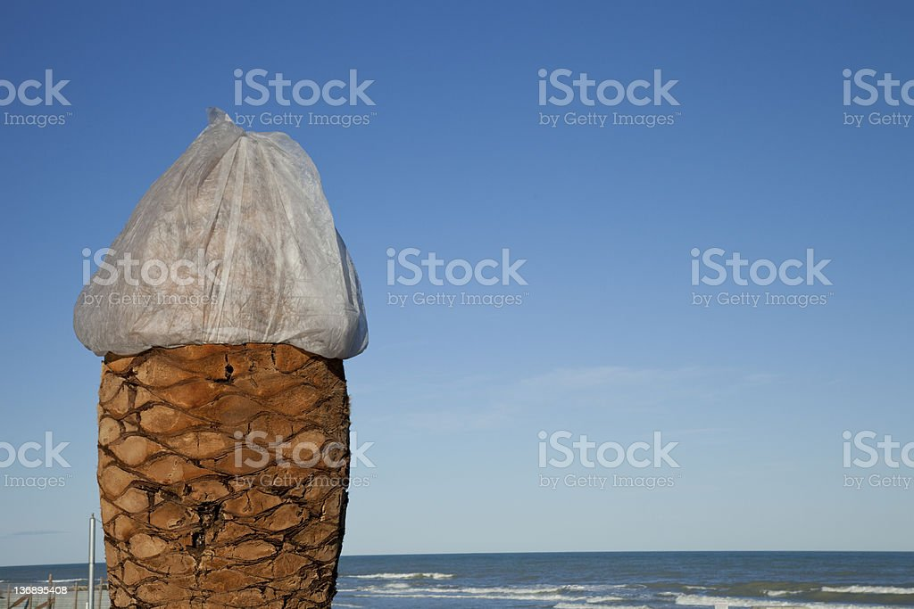 Palm tree affected by the red weevil stock photo