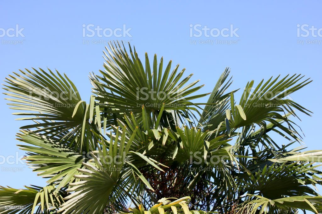 Palm tree against blue sky royalty-free stock photo