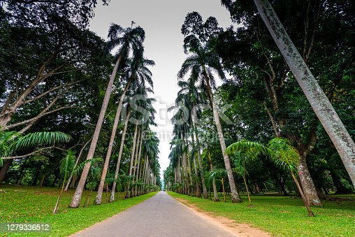 Palm tree alley in Royal Botanic King Gardens, Kandy, Sri Lanka. The garden includes more than 4000 species of plants, including orchids, spices, medicinal plants and palm trees