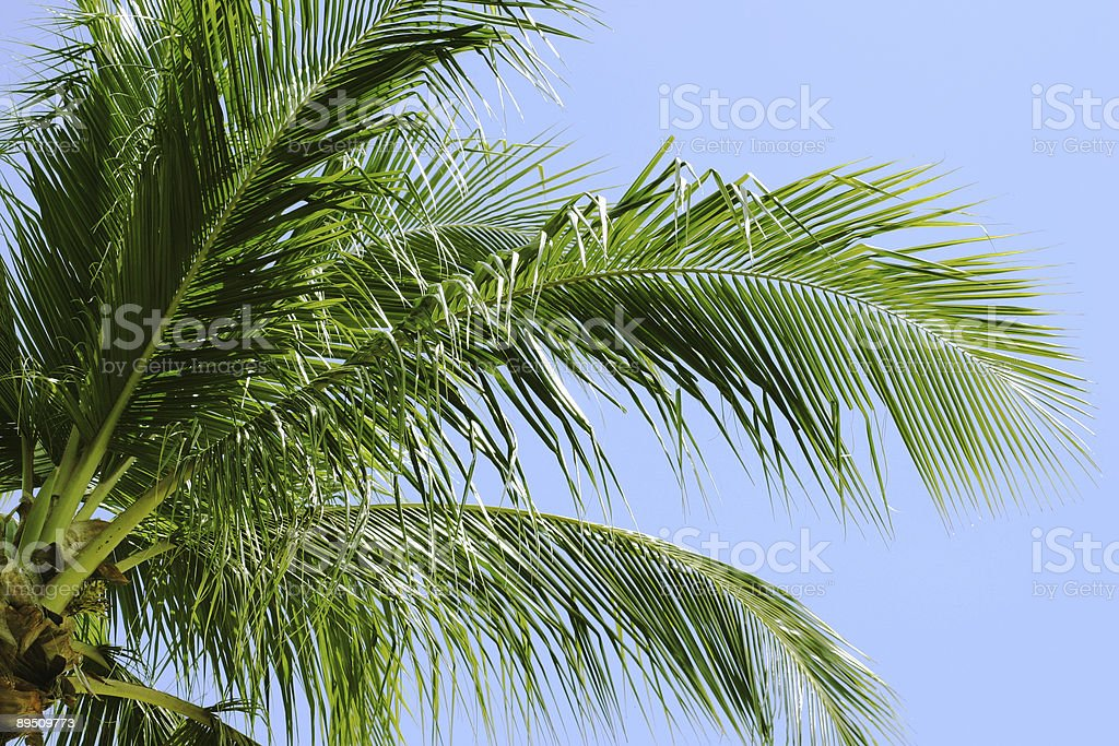 Palm Tree and Blue Sky royalty-free stock photo
