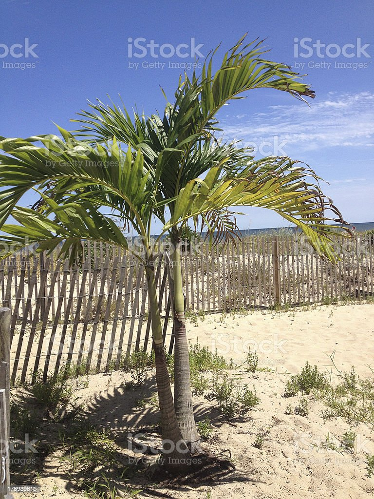 Palm Tree and Fence on Beach royalty-free stock photo