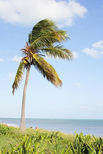 Palm Tree at Key Largo Beach stock photo