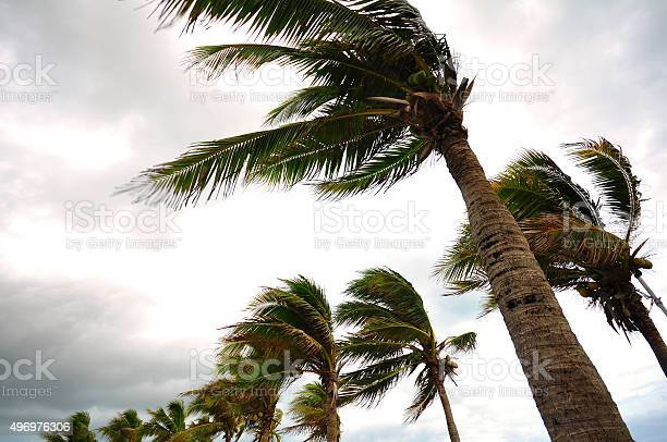 Palm tree at the hurricane