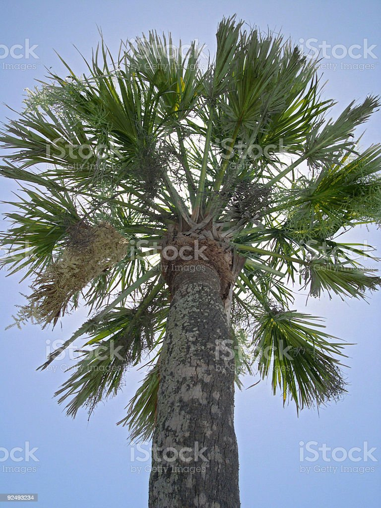 Palm Tree, Back Lit by Sun royalty-free stock photo