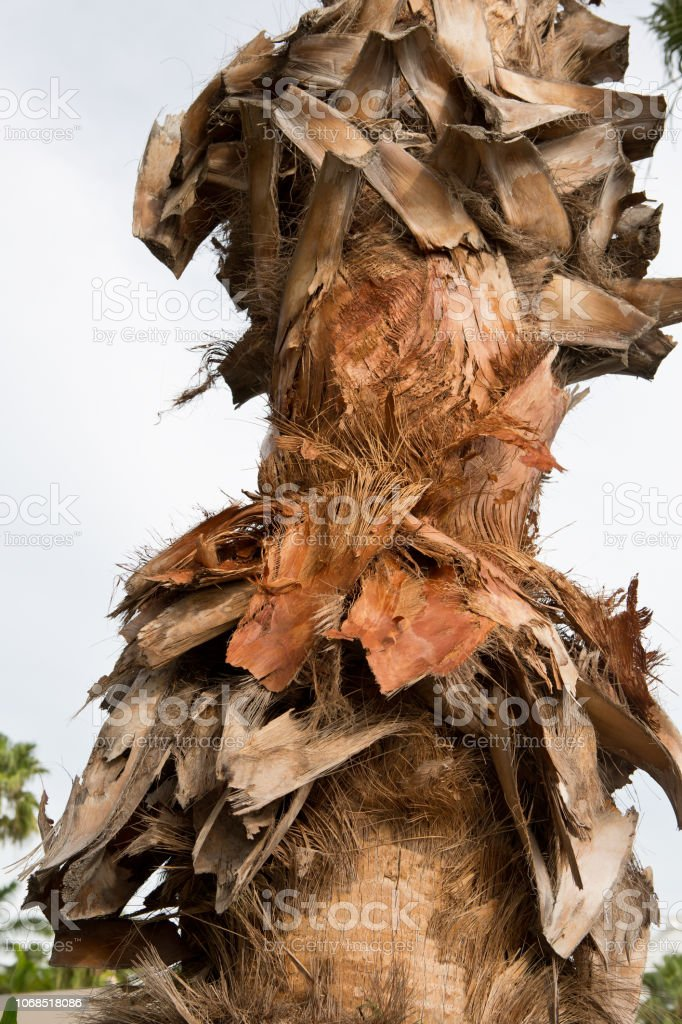 Palm tree bark on tree in tropics stock photo