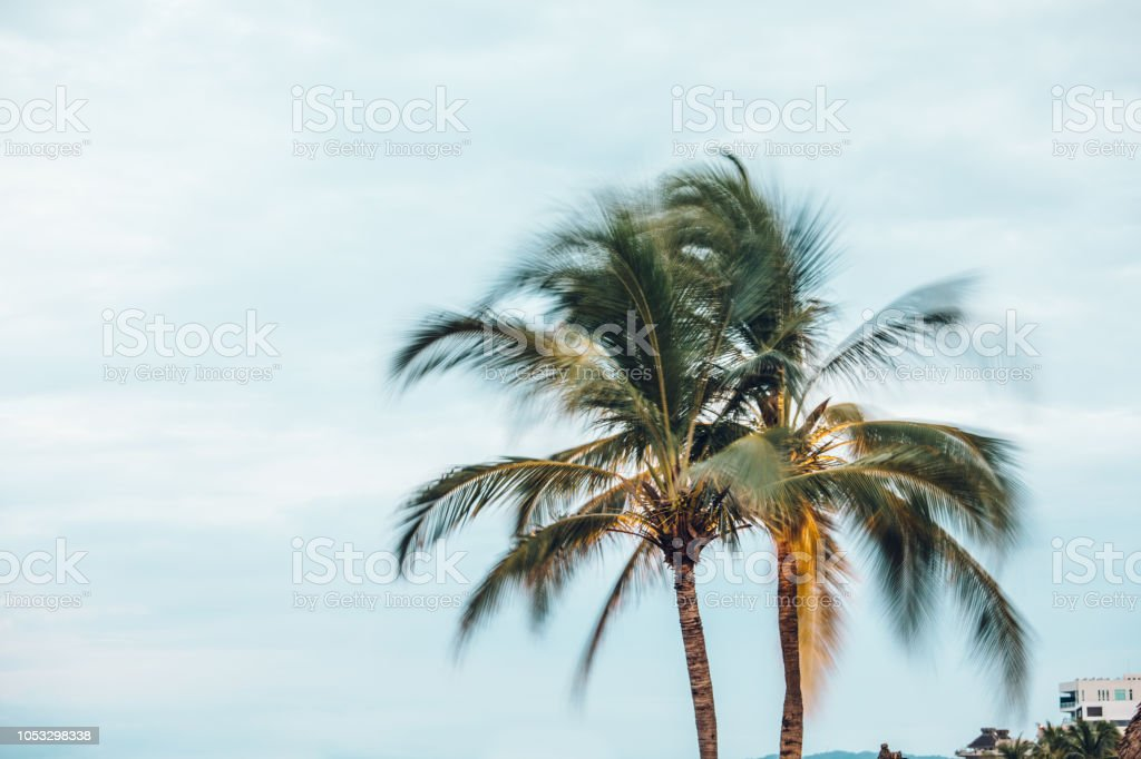 palm tree blowing in the wind stock photo