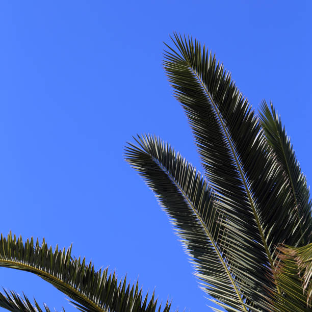 Palm Tree Branches and Blue Sky from Below stock photo