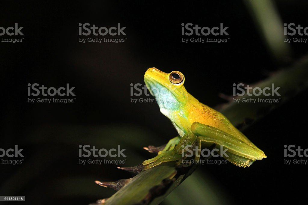 Palm tree frog sitting on a branch, Mindo, Ecuador stock photo