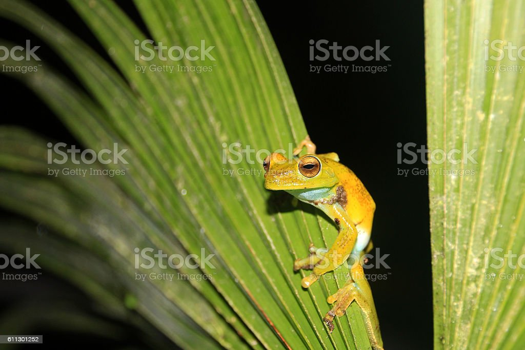 Palm tree frog sitting on a leave, Mindo, Ecuador stock photo