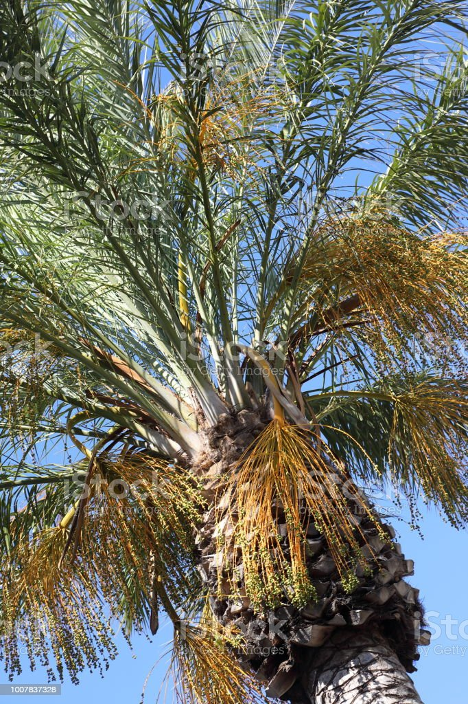 Palm tree from below on blue sky stock photo