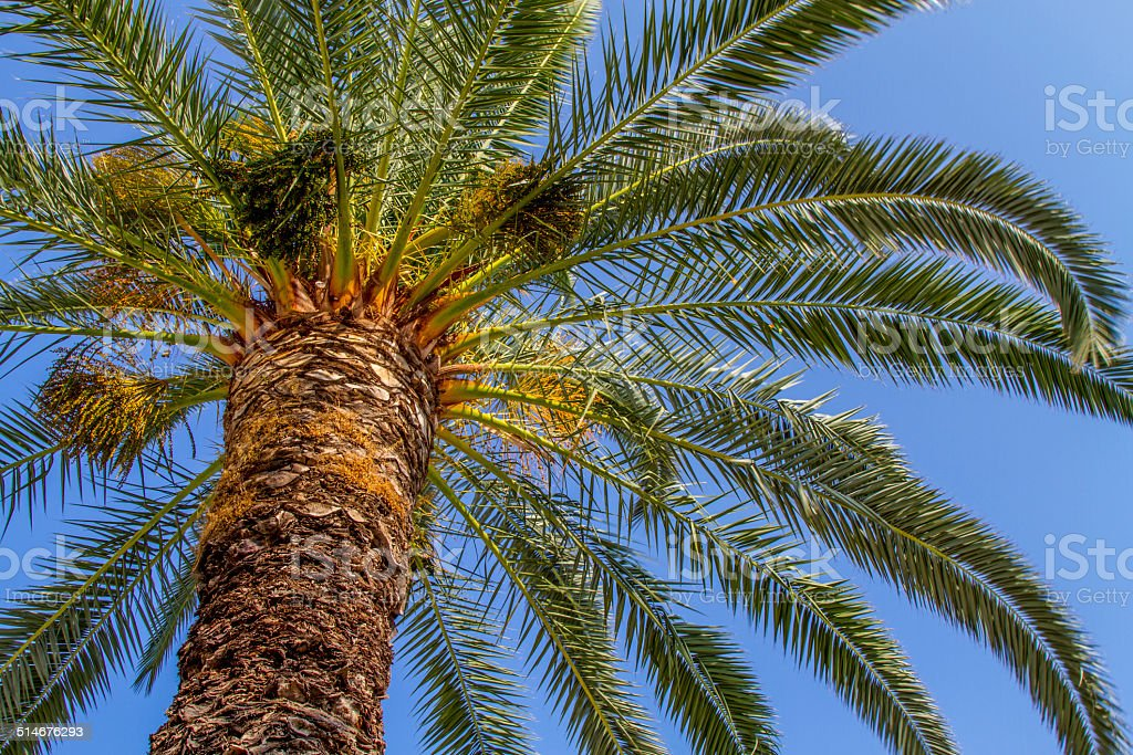 Palm Tree From Below stock photo