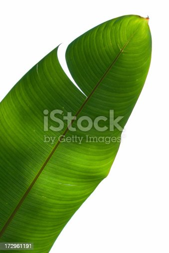 Palm tree green leaf. Completely white isolated background.