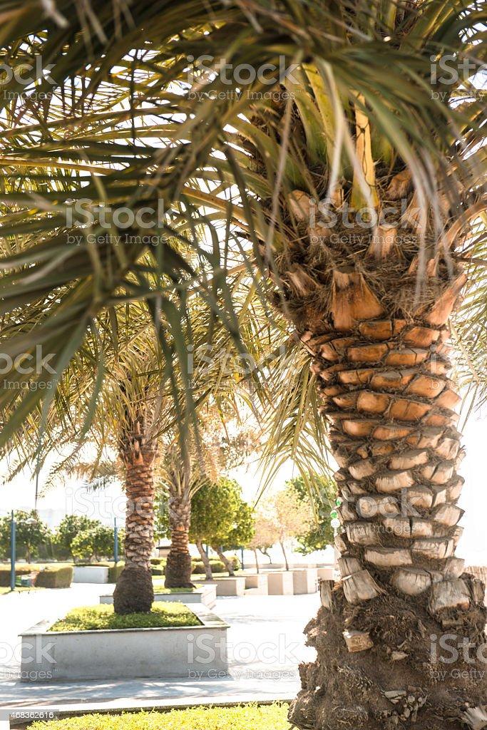 Palm tree in Abu dhabi promenade royalty-free stock photo