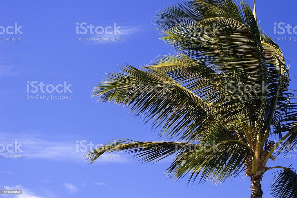 Palm Tree in Balmy Breeze stock photo
