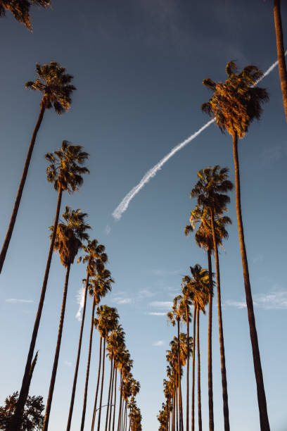 palm tree in los angeles palm tree in los angeles hollywood boulevard stock pictures, royalty-free photos & images