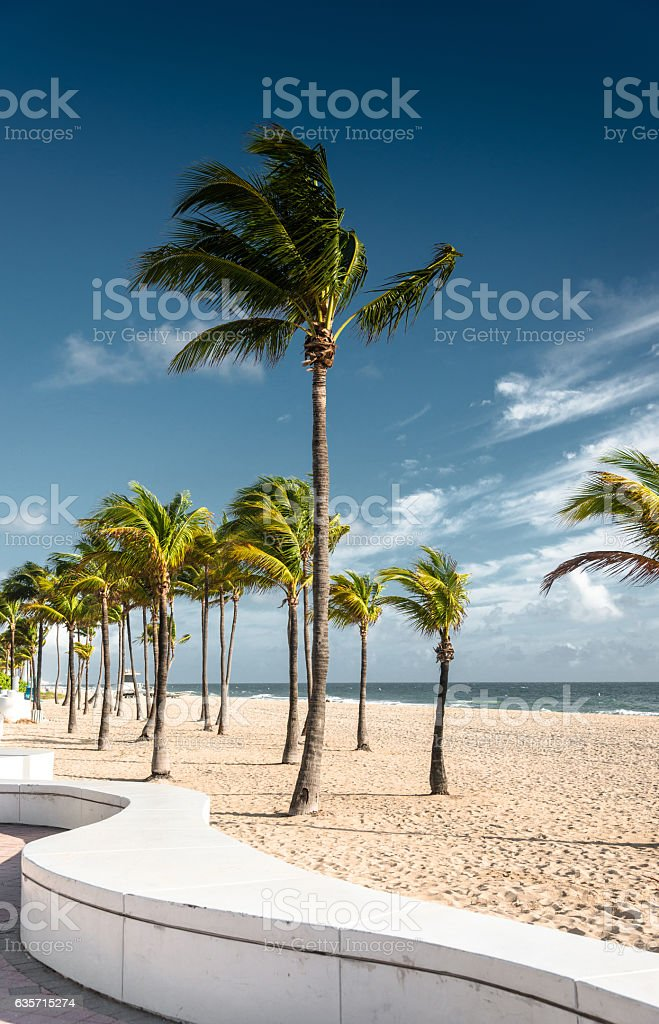 palm tree in miami fort lauderdale royalty-free stock photo