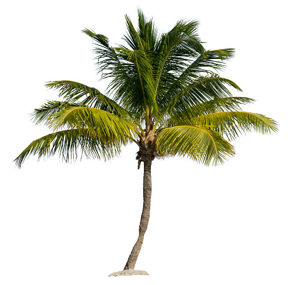 A Single Palm Tree in Sand Isolated on White Background