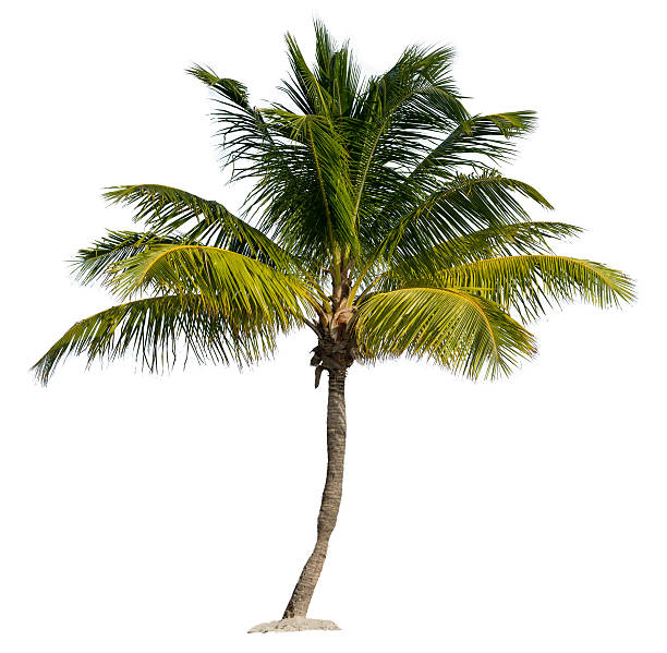 Palm Tree Isolated on a White Background stock photo