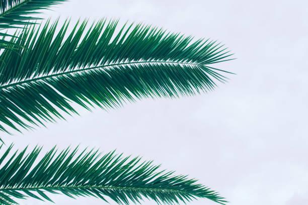 palmenblatt. - palmwedel stock-fotos und bilder