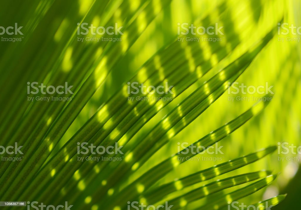 Palm Tree Leaf Sunlight Tropical Leaves Light And Shadow Abstract Porcupine Macro Photography Stock Photo Download Image Now Istock Free for commercial use no attribution required high quality images. https www istockphoto com photo palm tree leaf sunlight tropical leaves light and shadow abstract porcupine macro gm1058357166 282854292