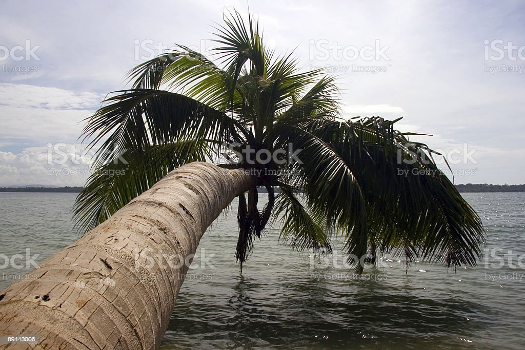 Palm tree leaning out over the water royalty-free stock photo