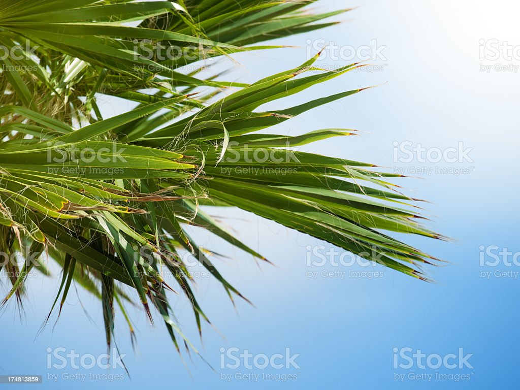 Palm tree leaves royalty-free stock photo