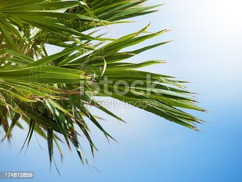 1146115746istockphoto Palm tree leaves 174813859