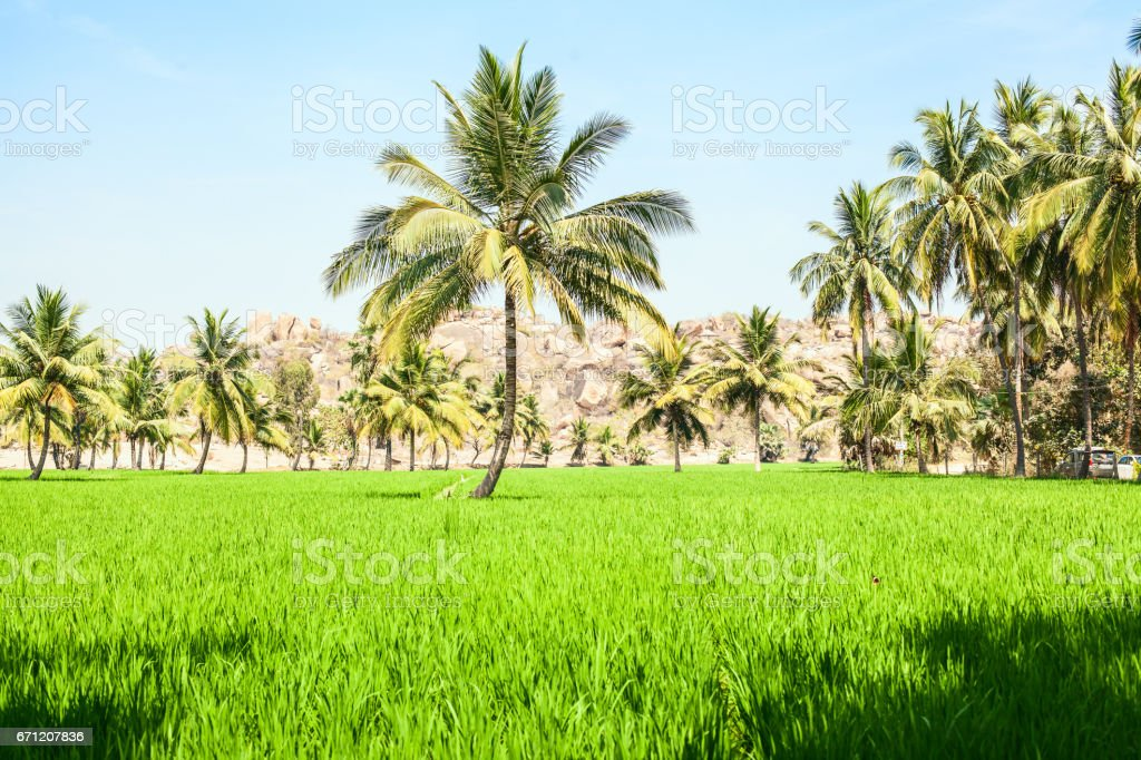 A palm tree on a rice field stock photo