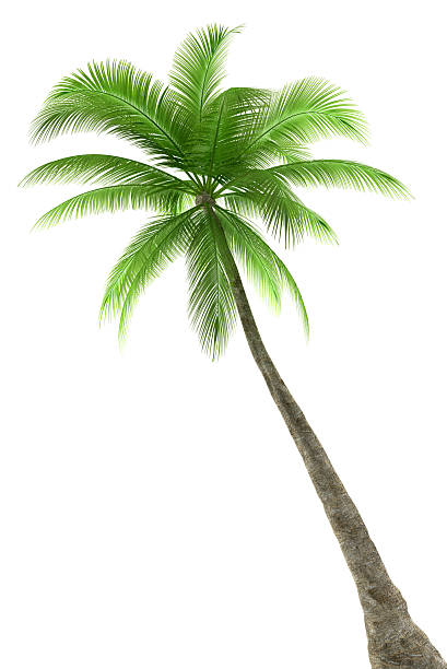 Palm tree on a white background stock photo