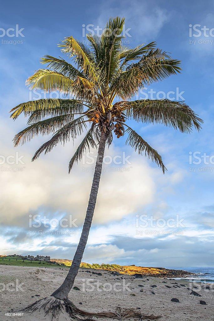 Albero Di Palme Sulla Spiaggia Di Anakena Isola Di Pasqua Cile