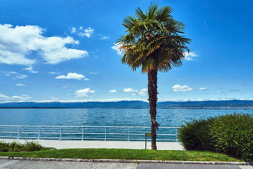 Palm tree on the coast of Lake Geneva