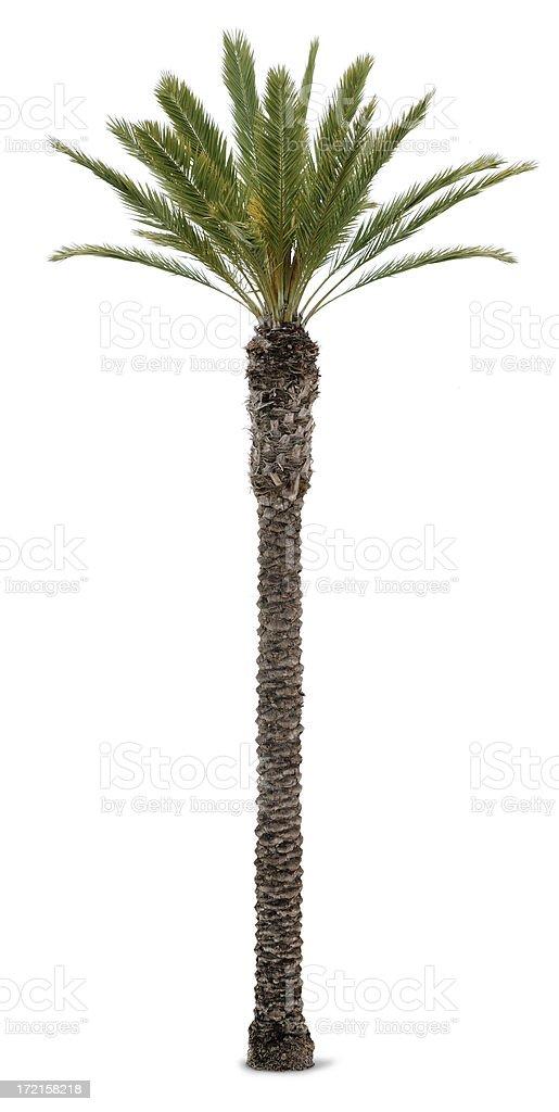 Palm Tree On White Background royalty-free stock photo