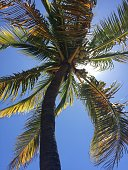 The view from below a palm tree looking up at the coconuts growing. Sunlight straight above