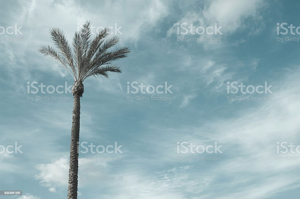 Palm Tree foto de stock libre de derechos