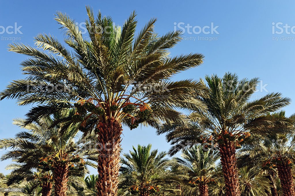 Palm Tree Plantation stock photo