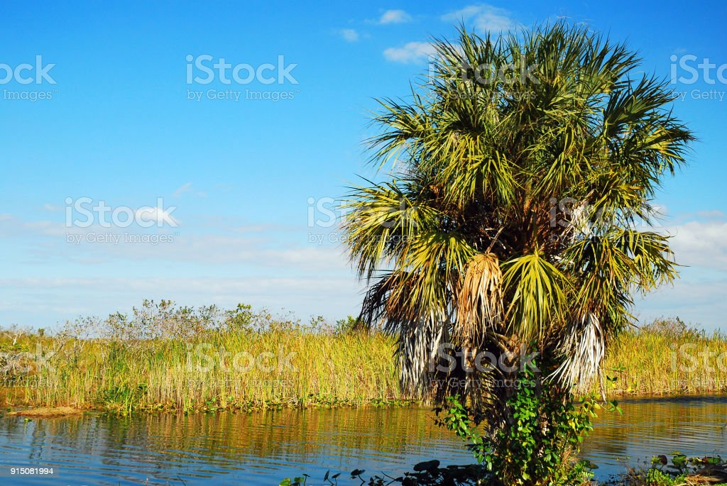 A Palm Tree Rises in the Everglades stock photo