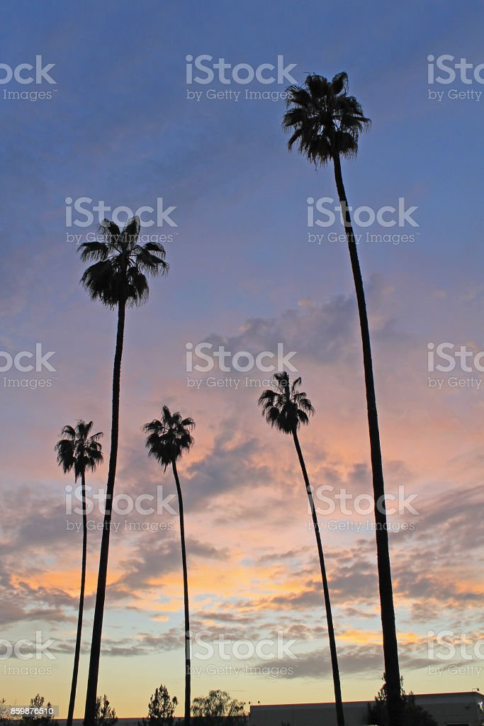 Palm Tree Sunset Vertical Pam Trees standing tall in a sunset California Stock Photo
