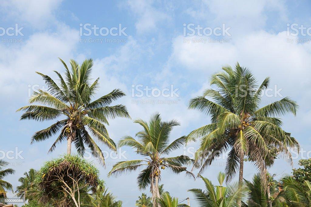 Palm Tree Top – Foto
