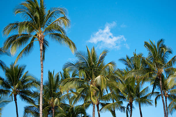 Palm Tree Tops  neicebird stock pictures, royalty-free photos & images