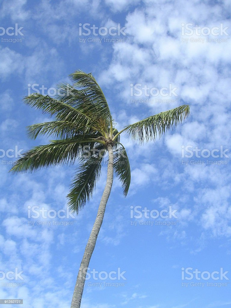 Palm Tree Vertical royalty-free stock photo