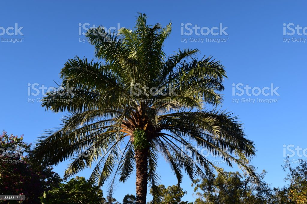 Palm tree with a clear blue sky in Brisbane stock photo