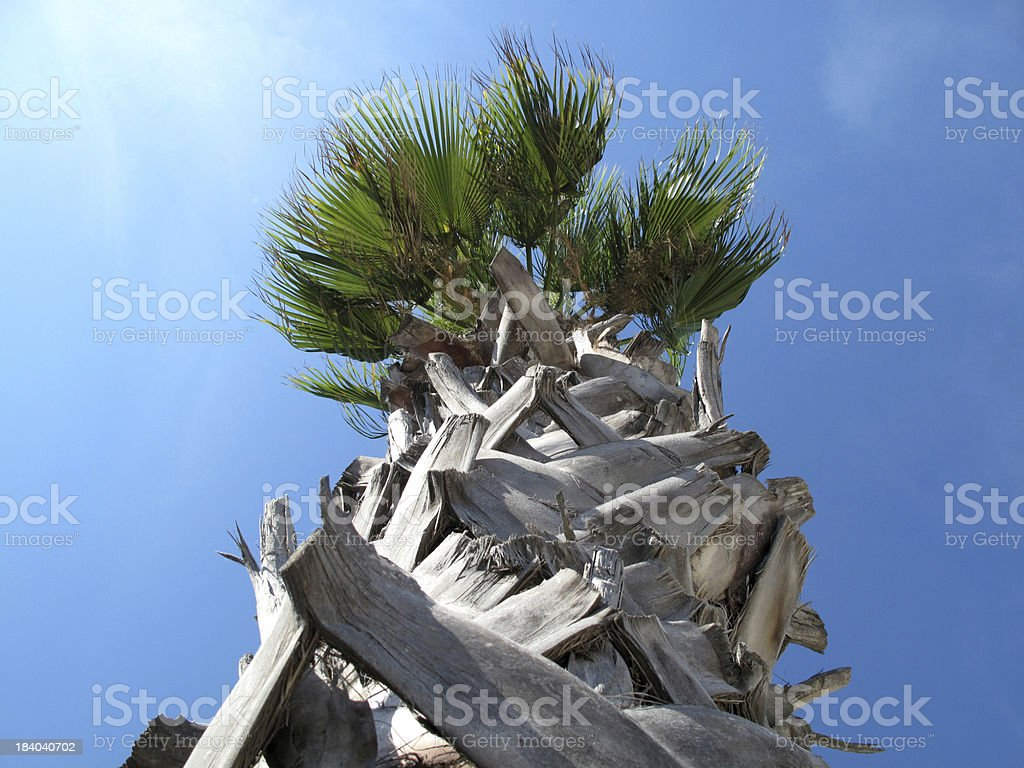Palm tree with a very rough trunk. royalty-free stock photo